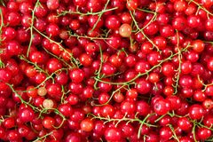 Bakgrund av mogna saftiga bär för röd vinbär Arkivfoto