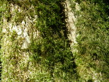 Bakgrund av mossa på eukalyptusskället Royaltyfri Bild