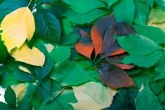 Bakgrund av multicolor leaves Royaltyfri Bild