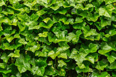 Bakgrund av murgrönan Royaltyfri Bild