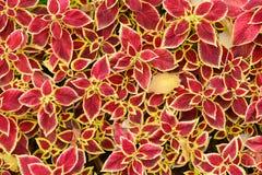 Bakgrund av mycket röda växter arkivfoto