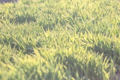 Bakgrund av naturlig ny grön gräsmatta Royaltyfri Bild