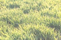 Bakgrund av naturligt ljust - grön gräsmatta Arkivbild
