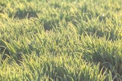 Bakgrund av naturligt ljust - grönt gräs Royaltyfria Foton