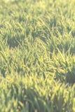 Bakgrund av naturligt nytt grönt gräs Royaltyfria Foton