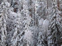 Bakgrund av nummer snö-täckte träd för en gran av vinterskogen i frostig mist Royaltyfri Fotografi