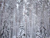Bakgrund av numret snö-täckte träd för en gran och sörjer av vinterskog i frostig mist Arkivfoton
