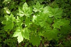 Bakgrund av nya gröna lönnlöv i skog Arkivfoto
