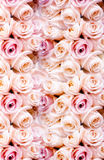 Bakgrund av nya rosa romantiska rosor Royaltyfri Foto