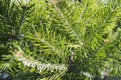 Bakgrund av nytt ljust - grön gran förgrena sig Arkivbild