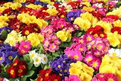 Bakgrund av oavkortad blom för åtskilliga växter för primulaprimula Vulgaris Flerfärgade primulablommor, bästa sikt Färgrik peren royaltyfri bild