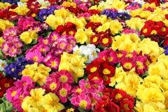 Bakgrund av oavkortad blom för åtskilliga växter för primulaprimula Vulgaris Flerfärgade primulablommor, bästa sikt Färgrik peren royaltyfria foton