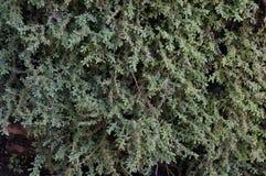 Bakgrund av ogräset på väggen Royaltyfri Foto