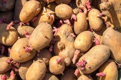 Bakgrund av potatisar för att plantera i trädgården Arkivbilder