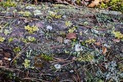 Bakgrund av prydliga visare, mossor, sidor Skoggolv med torra sidor och mossa Textur naturlig bakgrund Royaltyfri Fotografi