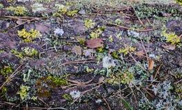 Bakgrund av prydliga visare, mossor, sidor Skoggolv med torra sidor och mossa Textur naturlig bakgrund Arkivfoto