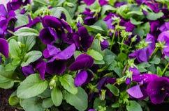 Bakgrund av purpurfärgade pansies Härlig design av rabatter i sommaren royaltyfri foto