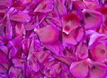 Bakgrund av purpurfärgade pionkronblad Royaltyfria Bilder