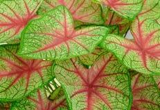 Bakgrund av röda åder för gröna tjänstledigheter Royaltyfri Fotografi