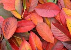 Bakgrund av röda leaves Arkivbilder