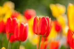 Bakgrund av röda och gula tulpan Fotografering för Bildbyråer