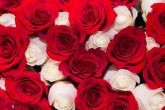 bakgrund av röda och vita rosor fotografering för bildbyråer
