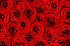 Bakgrund av röda rosor Royaltyfria Bilder