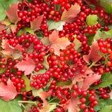 Bakgrund av röda sidor och viburnumbär Royaltyfria Bilder
