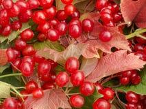 Bakgrund av röda sidor och viburnumbär Royaltyfri Foto