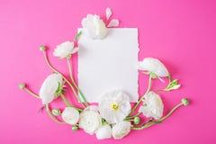 Bakgrund av ranunculusen Blom- modell av vita blommor och det vita kortet på rosa bakgrund Lekmanna- lägenhet, bästa sikt Royaltyfri Foto