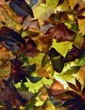 Bakgrund av sidor i Autumn Colors Arkivbilder