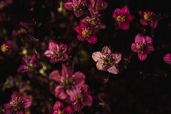 Bakgrund av små purpurfärgade blommor Blåsa utskjutande Meloe Royaltyfri Bild