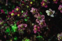 Bakgrund av små purpurfärgade blommor Blåsa utskjutande Meloe Royaltyfri Fotografi