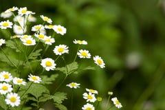 Bakgrund av små vita blommor som blommar busken Arkivfoton