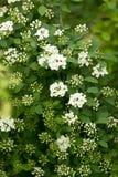 Bakgrund av små vita blommor som blommar busken Arkivbild
