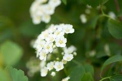 Bakgrund av små vita blommor som blommar busken Royaltyfri Bild