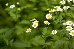 Bakgrund av små vita blommor som blommar busken Arkivfoto