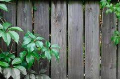 Bakgrund av staketbräden och gröna sidor av lösa druvor Royaltyfria Foton