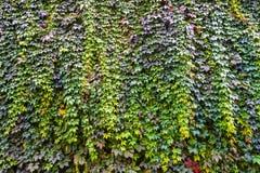 Bakgrund av textur och druva-vinrankan för tegelstenvägg Arkivfoto