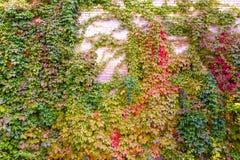Bakgrund av textur och druva-vinrankan för tegelstenvägg Arkivbilder