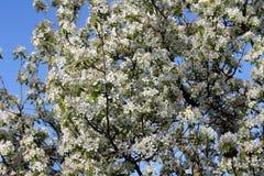 bakgrund av trädet för körsbärsröda blomningar för vår det vita Arkivfoto
