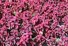 Bakgrund av växter av den rödbruna coleusen Royaltyfri Foto