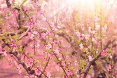 bakgrund av vårblomningträdet med rosa härliga blommor Selektivt fokusera royaltyfri bild