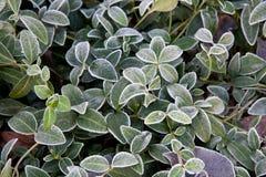 Bakgrund av vincaen för grönt gräs som täckas med rimfrost arkivbild