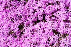 Bakgrund av violetta blommor Royaltyfri Fotografi