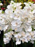 Bakgrund av vit Romantiker av vit orkidébakgrund, bakgrund för specialt kort Vit modell arkivbild