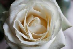 Bakgrund av vita rosor i närbild Blom- bakgrund av vita rosor i makroskala Royaltyfri Foto