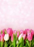 bakgrund blommar den rosa tulpan Royaltyfria Bilder