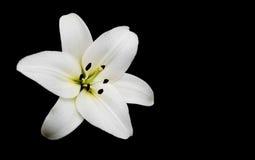 bakgrund blommar glansig white för lilja två Arkivfoton