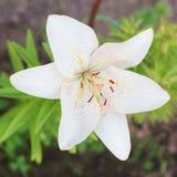 bakgrund blommar glansig white för lilja två Royaltyfri Fotografi